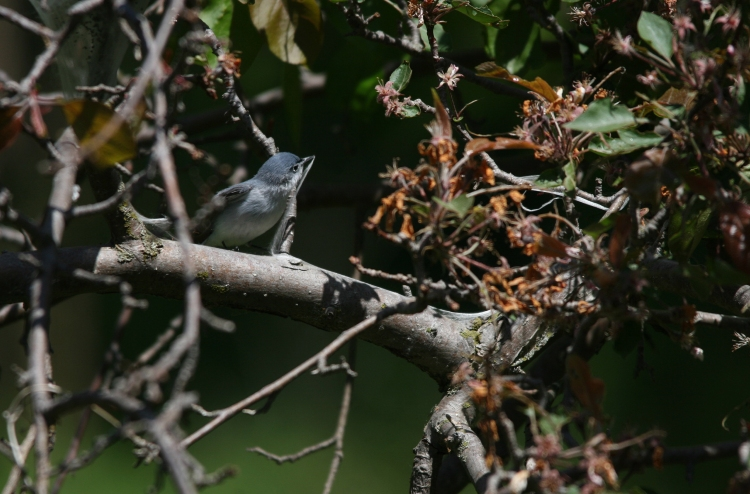 Blue-gray Gnatcatcher collecting spider silk