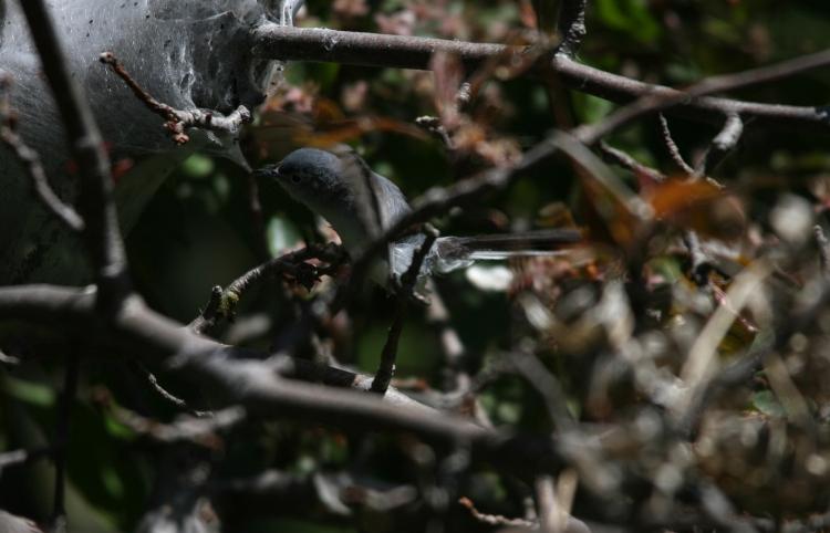 Blue-gray Gnatcatcher nicking spider silk