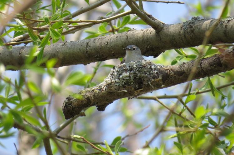 Blue-gray Gnatcatcher on nest
