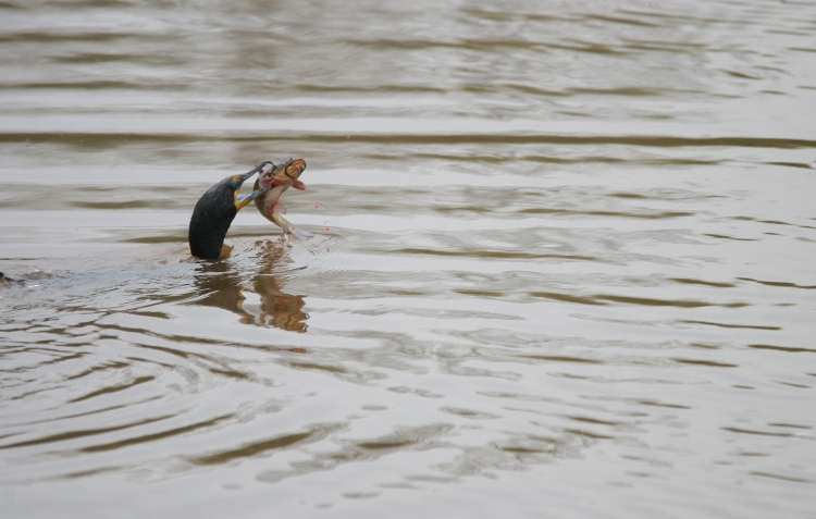 Double-crested Cormorant resurfaces with catfish