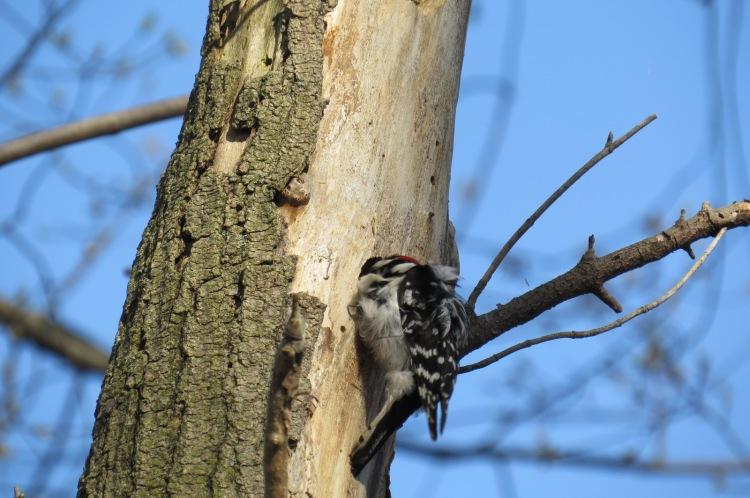 Downy Woodpecker exiting cavity