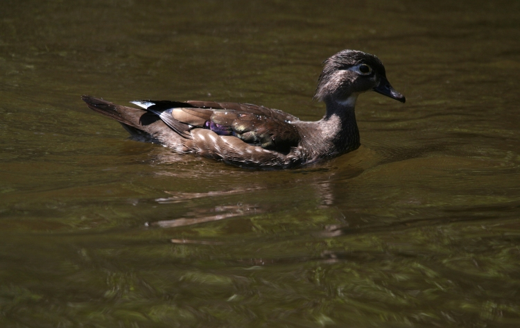 Female Wood Duck side profile