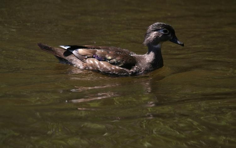 Female Wood Duck side profile
