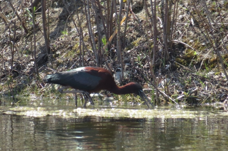 Foraging Glossy Ibis