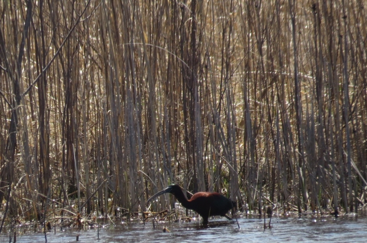 Glossy Ibis at Sobey's Pond