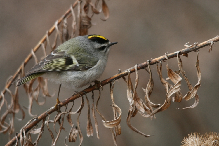 Golden-crowned Kinglet checking branches ahead