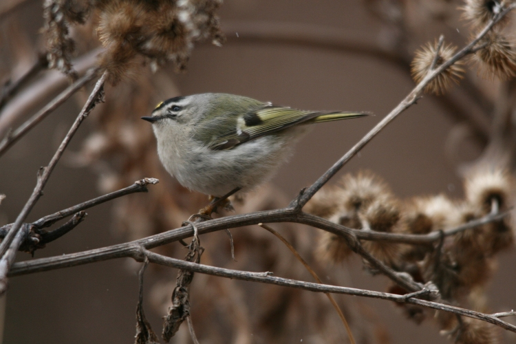 Golden-crowned Kinglet checking overhead