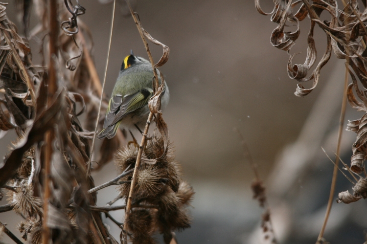 Golden-crowned Kinglet oblivious to danger