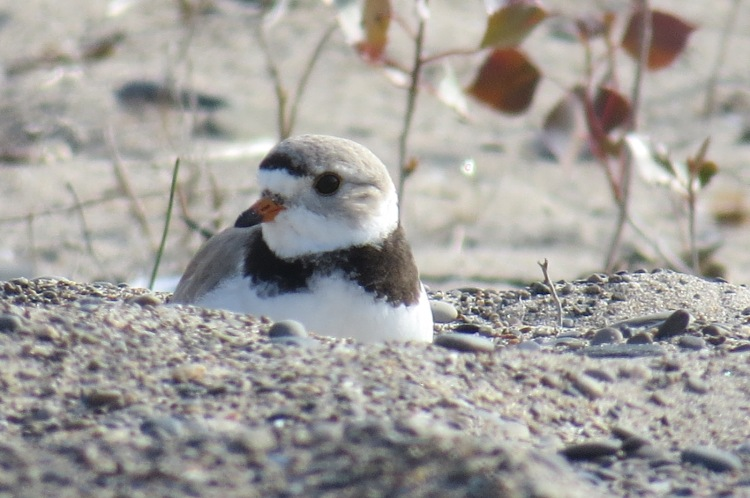 Gorgeous Piping Plover