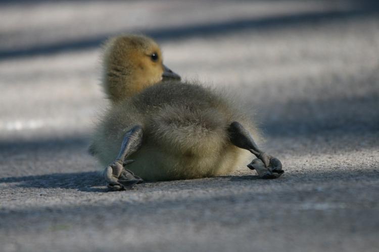 Gosling resting tired feet
