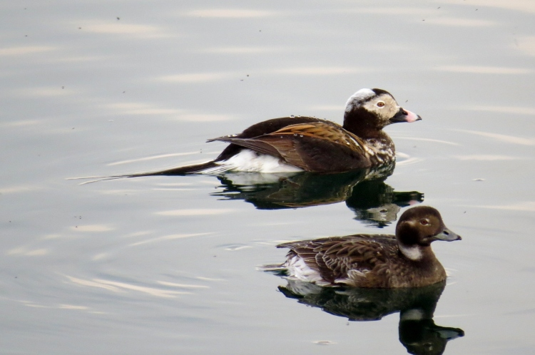 Male and female Long-tailed Ducks (summer plumage)