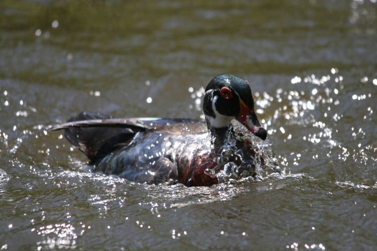 Male Wood Duck emerging from dive
