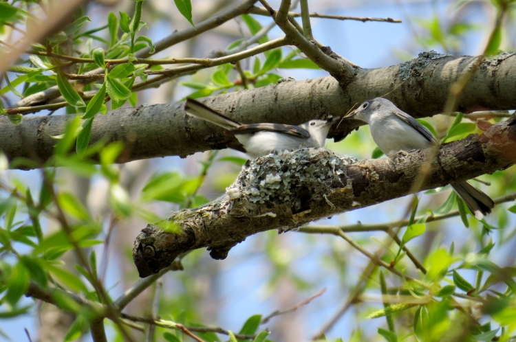 Nest building Blue-gray Gnatcatchers