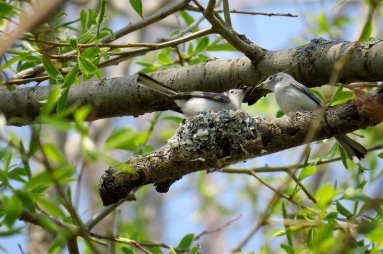 Nest building Blue-gray Gnatcatchers