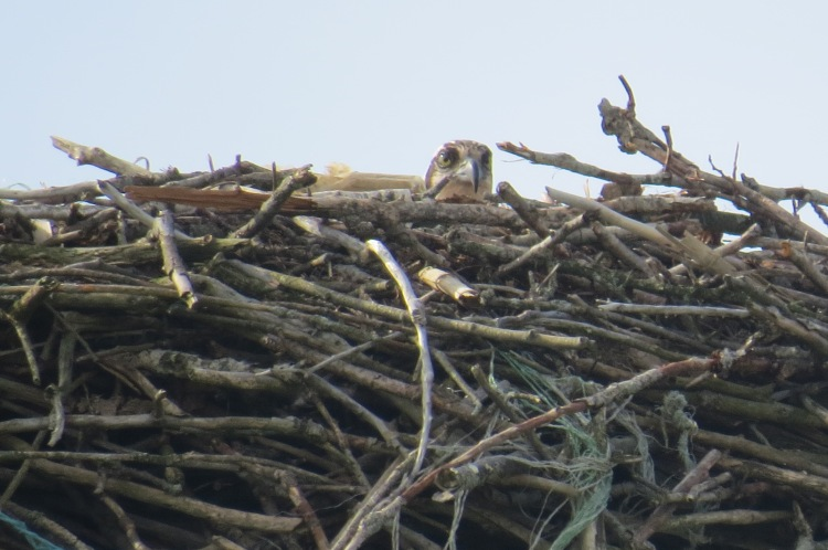 Osprey (zoomed in)