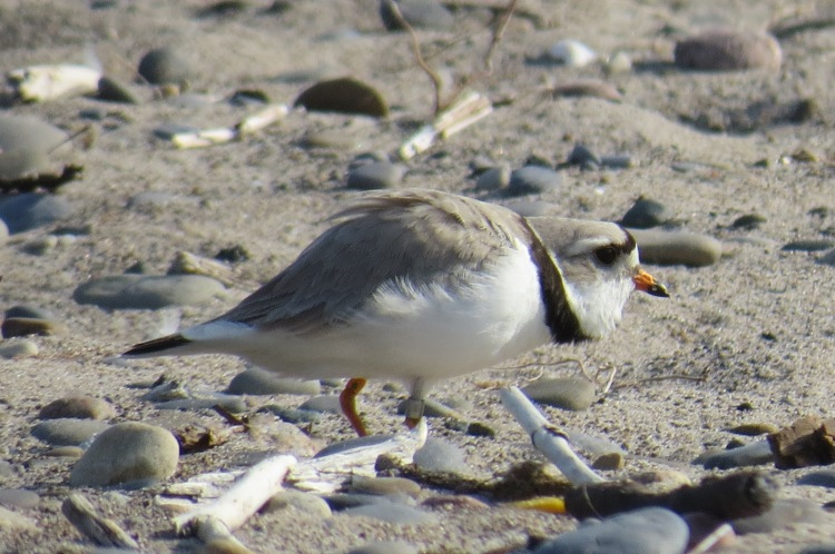 Piping Plover walking about
