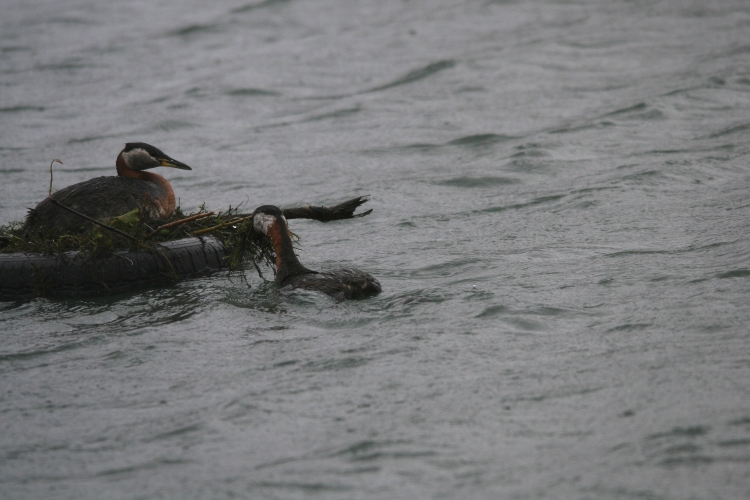 Red-necked Grebe delivering nesting material