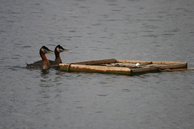 Red-necked Grebes and egg
