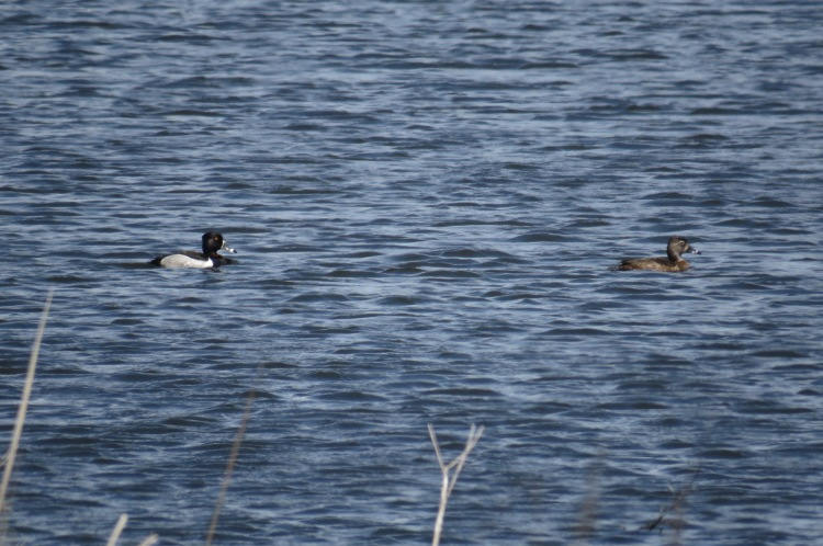 Ring-necked Ducks (male on left, female on right)