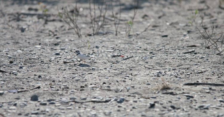 The third Piping Plover