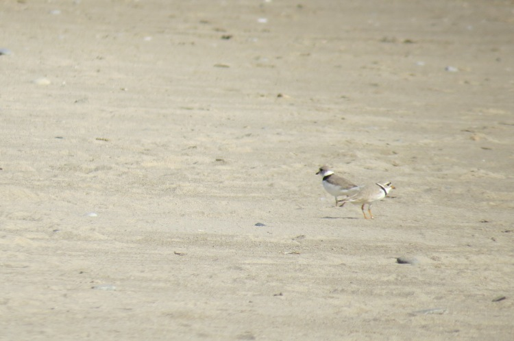 Two Piping Plovers