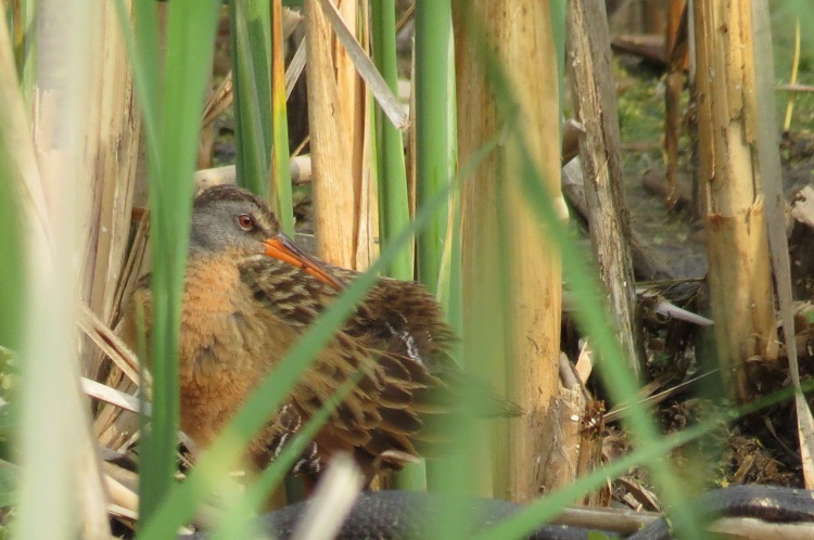 Virginia Rail (zoomed in) - notice the nearby snake