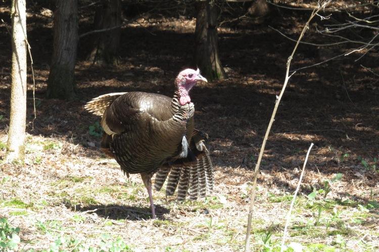 Wild Turkey stretching
