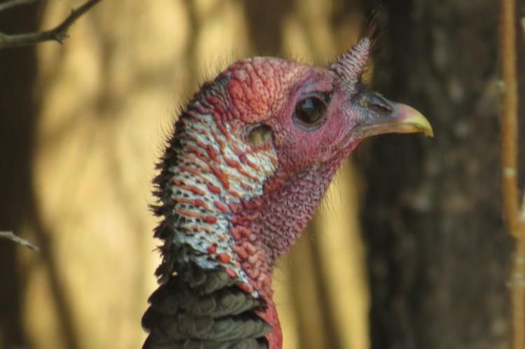 Wild Turkey's profile