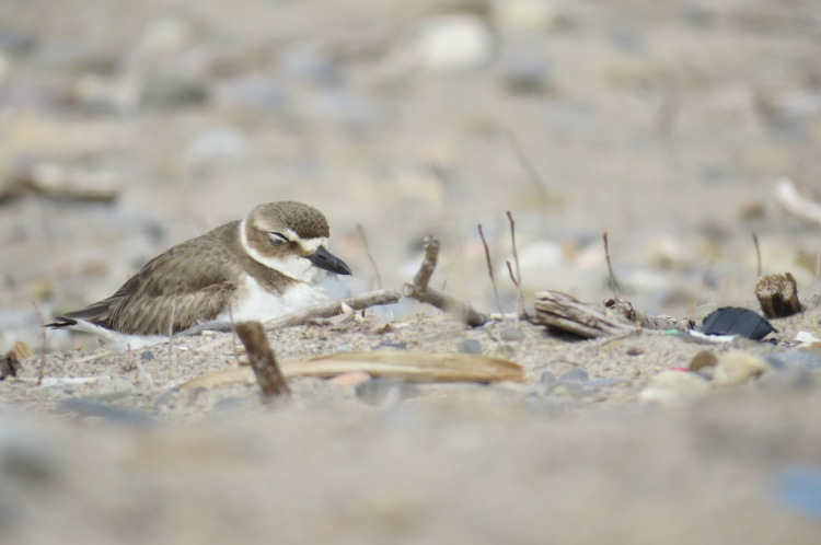 Wilson's Plover with eyes closed