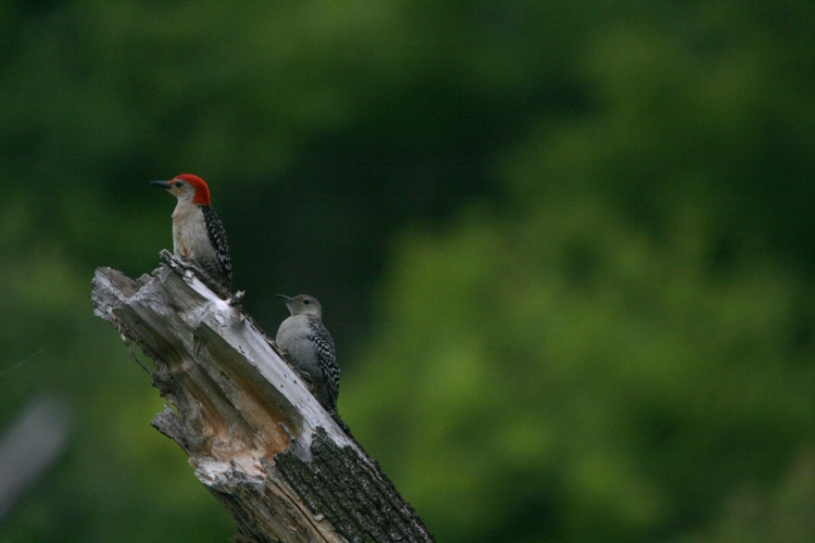 Adult and juvenile Red-bellied Woodpeckers