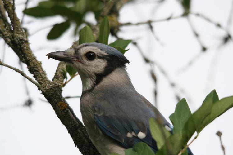 Close up of Juvenile Blue Jay