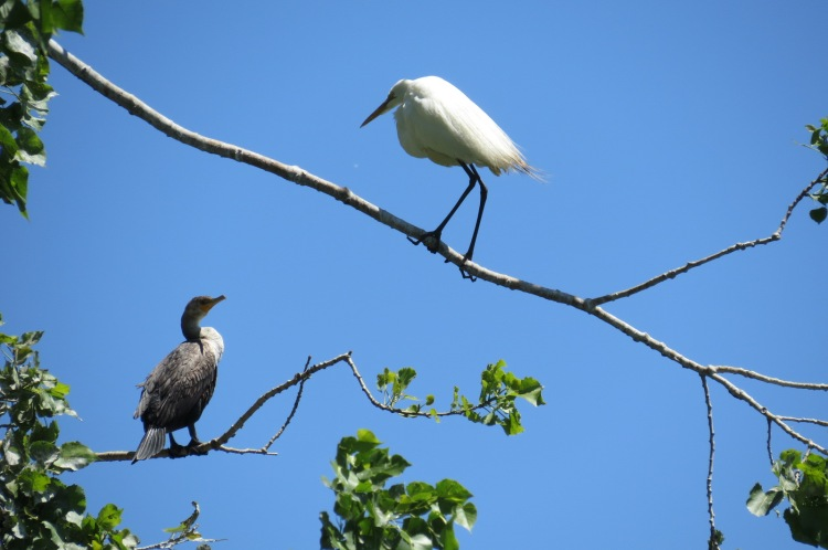 Double-crested Cormorant and Great Egret