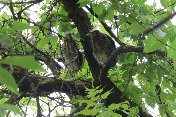 Four of five fledgling Green Herons (two are obscured to the left)