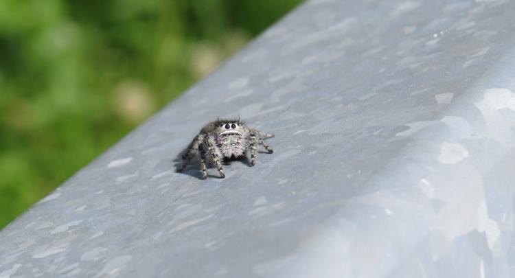 Jumping spider (species unknown)