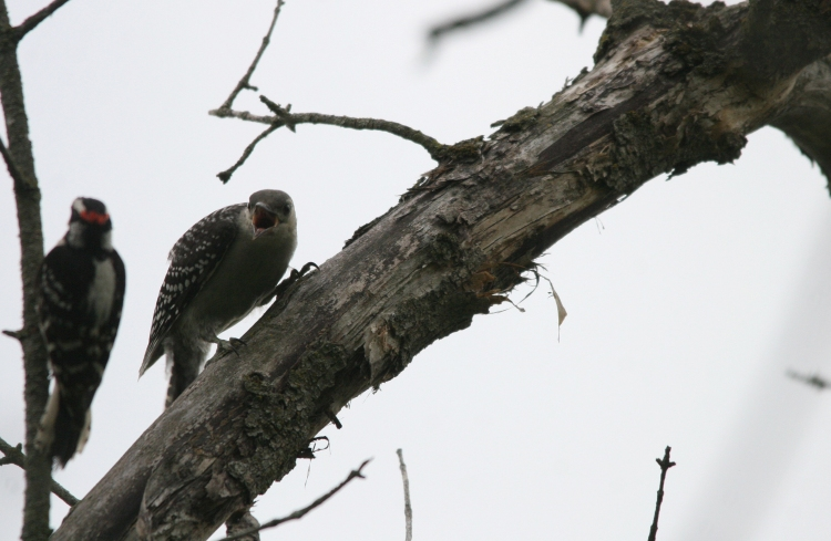 Juvenile Red-bellied Woodpecker responding to Downy Woodpecker