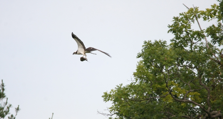 Osprey departing with catch