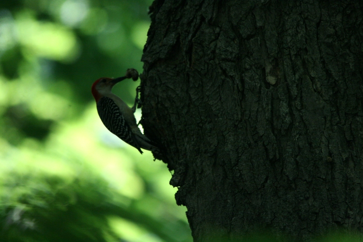 Red-bellied Woodpecker with grub