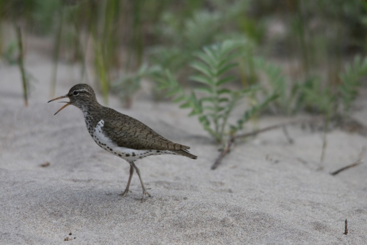 Spotted Sandpiper on the beach