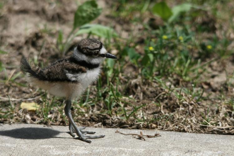 The tiniest of the Killdeer chicks