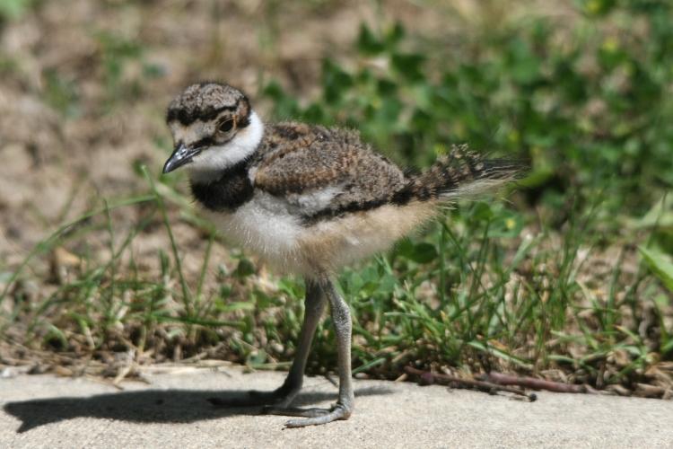 Third born of four Killdeer chicks