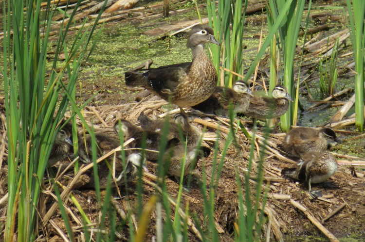 Wood Duck with brood