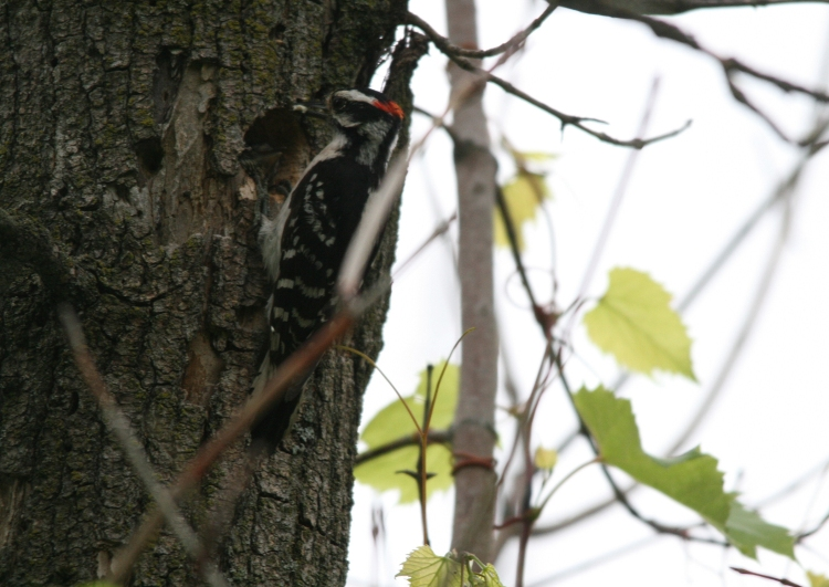 Woodpecker greeted by nestling