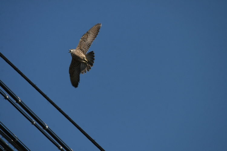 Juvenile Peregrine Falcon begging in flight
