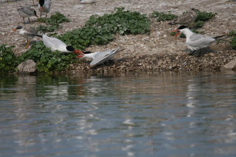 Caspian Tern dispute