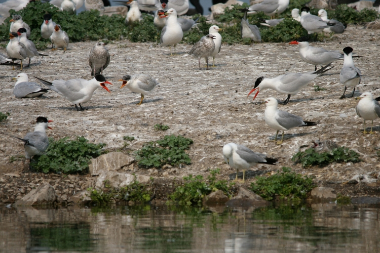 Caspian Terns and their young