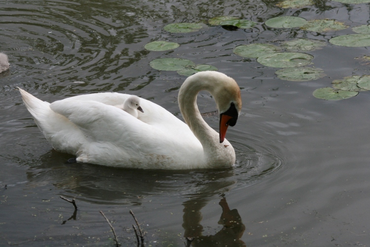 Cygnet riding with parent