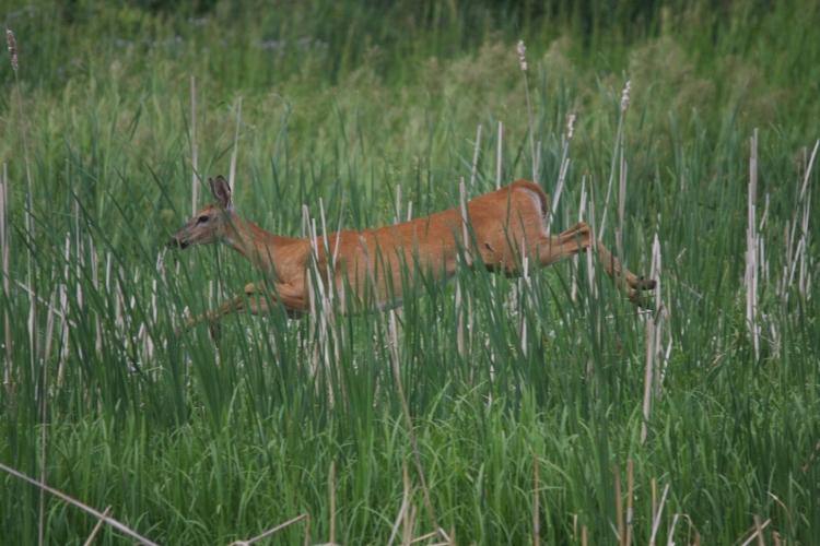 Deer heading for cover