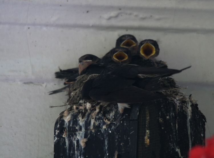 Family of five Barn Swallows