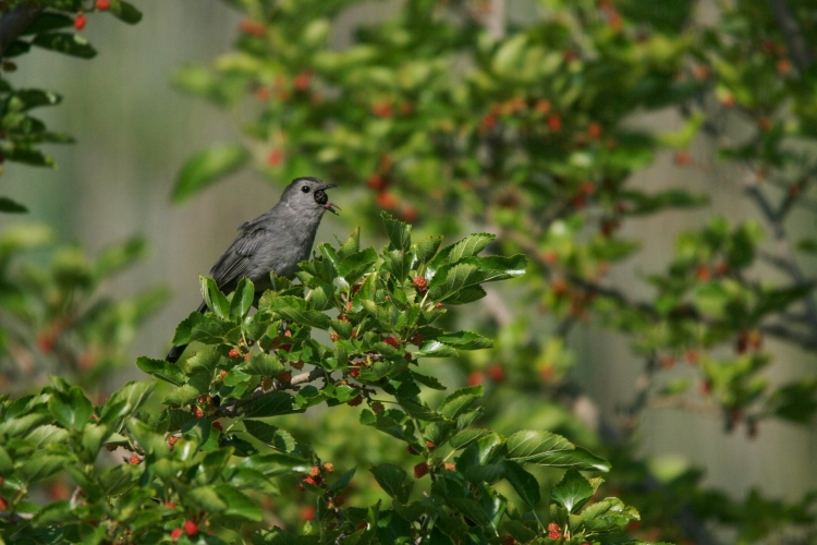 Gray Catbird consuming mulberry