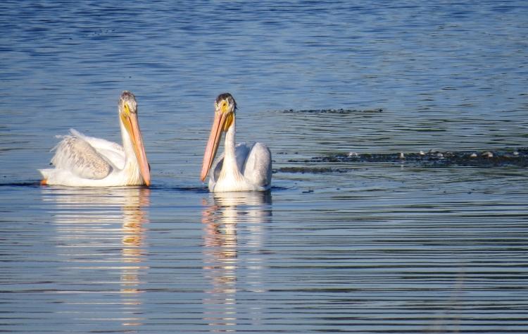 Juvenile American White Pelicans